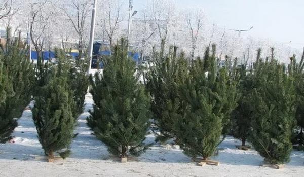 Елочные базары в Санкт-Петербурге: где купить елку