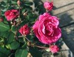 К ЧМ-2016 по хоккею в Петербурге посадят тысячи кустов роз