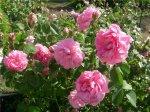 Петербургские садовники высадили миллион роз