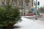 В Петербурге высадят свыше 4 тысяч ёлок